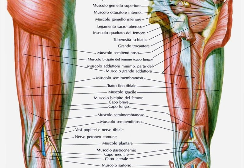 Muscoli della coscia posteriori for Muscolo interno coscia nome